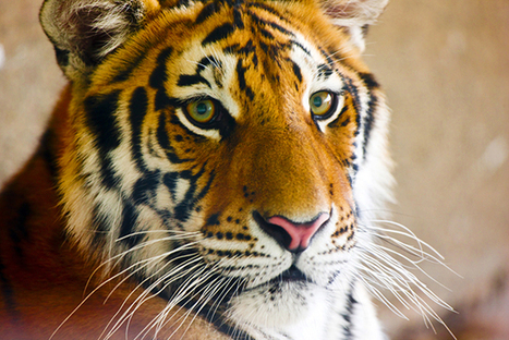 Blood Sport: Chinese Bigwigs Watch 10 Tigers Die for Fun | Nature Animals humankind | Scoop.it