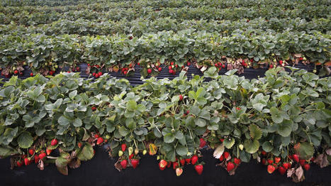 Mexican farmworkers strike over low wages, blocking harvest | Food Security, Permaculture, & Environment | Scoop.it
