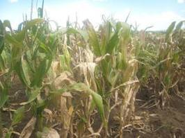 East African researchers collaborate to fight maize disease | Bt Corn Maize - Transgenic Corn | Scoop.it