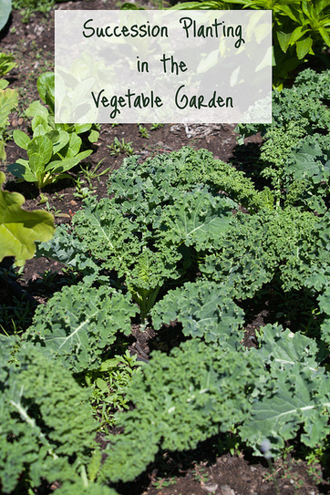 Succession Planting Vegetables - The Garden Corner | Gardening is more than Digging the Dirt | Scoop.it