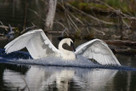 Trumpeter Swans by Ron Horn | The Trumpet of the Swans | Scoop.it