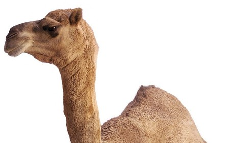 Camels 'almost certainly' the source of SARS-like virus in Middle East | Virology News | Scoop.it