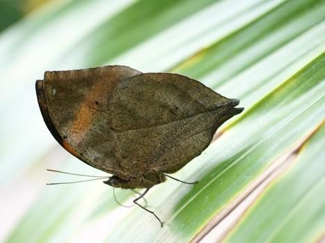 Photo de papillon asiatique : Papillon feuille - Kallima - Callima - Oak Leaf butterflies | Fauna Free Pics - Public Domain - Photos gratuites d'animaux | Scoop.it