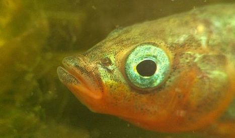 There Is a Deadly Secret Hidden in This Fish's Parenting Plan | Strange days indeed... | Scoop.it