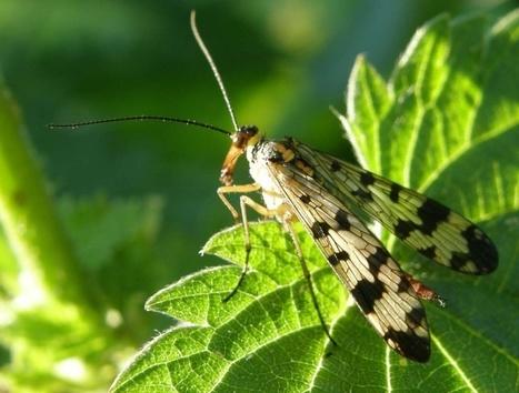 Photos de panorpes (mouches scorpions) - Panorpa sp. - Scorpionflies | Fauna Free Pics - Public Domain - Photos gratuites d'animaux | Scoop.it
