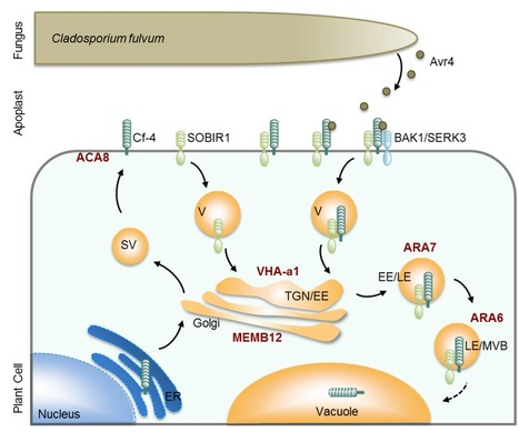 bioRxiv: The Cf-4 receptor-like protein associates with the BAK1 receptor-like kinase to initiate receptor endocytosis and plant immunity (2015) | Publications from The Sainsbury Laboratory | Scoop.it