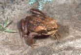 Cane Toad - Australian Museum   Quarantine   Scoop.it