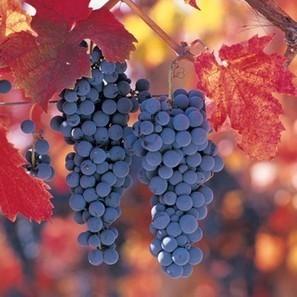 The flagship wine grapes of the future | Autour du vin | Scoop.it