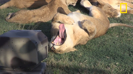 Photographing Serengeti Lions Up Close Using Infrared, Robots and Drones | Robots | Scoop.it