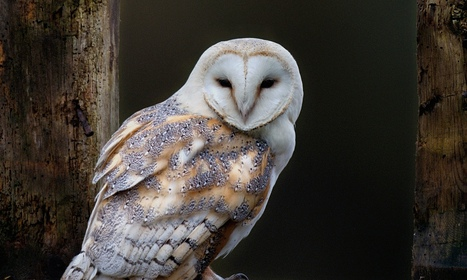 Curb on rat poisons urged to protect barn owls | British wildlife | Scoop.it