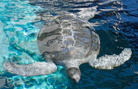 10 Fabulous Facts About Sea Turtles | Ocean of Hope | All about water, the oceans, environmental issues | Scoop.it