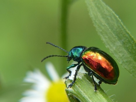 Photo de coléoptère d'Amérique : Chrysomèle de l'apocyn - Chrysochus auratus - Dogbane beetle | Fauna Free Pics - Public Domain - Photos gratuites d'animaux | Scoop.it