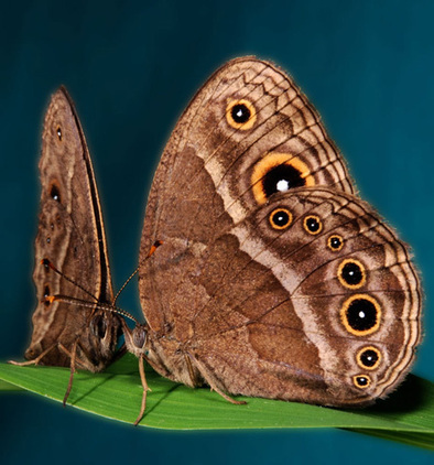 Scientists turn a brown butterfly purple—in just six generations | Amazing Science | Scoop.it