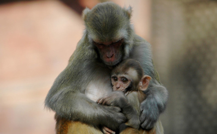 Hundreds of Lab Monkeys Killed for Growing Too Large? | Animal Cruelty | Scoop.it