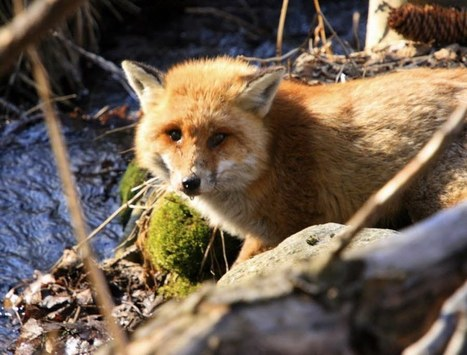 Le renard retiré de la liste des nuisibles, sa chasse interdite | Chronique d'un pays où il ne se passe rien... ou presque ! | Scoop.it