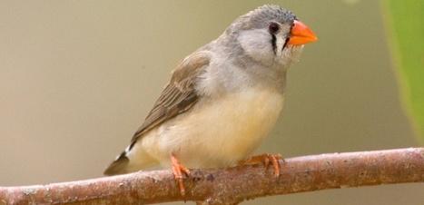 Les moustiques préfèrent les oiseaux stressés   EntomoNews   Scoop.it