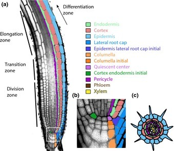 Tansley Review: Genes and networks regulating root anatomy and architecture | Plant-Microbe Interaction | Scoop.it