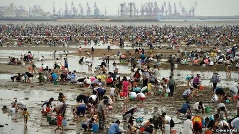 Thousands dig up #clams on #China beach ~ probably more people than clams! | Fish in Demand -Aquaculture-and-More by Youmanitas | Scoop.it