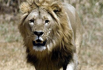 A peine 250 lions adultes encore vivants en Afrique de l'ouest - Magazine GoodPlanet | Voyager au BENIN | Scoop.it