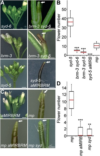 Auxin-regulated chromatin switch directs acquisition of flower primordium founder fate | eLife | plant molecular biology | Scoop.it