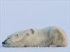 Alaska argues polar bear not threatened | Global warming | Scoop.it