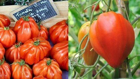 Recherche tomate «Cœur de bœuf», désespérément…A droite, la vraie ! | Gastronomie et alimentation pour la santé | Scoop.it