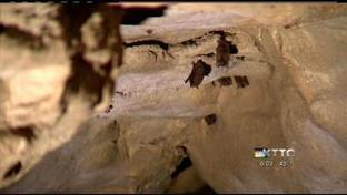 Mystery Cave bats deemed healthy despite fungus epidemic | Bat Biology and Ecology | Scoop.it
