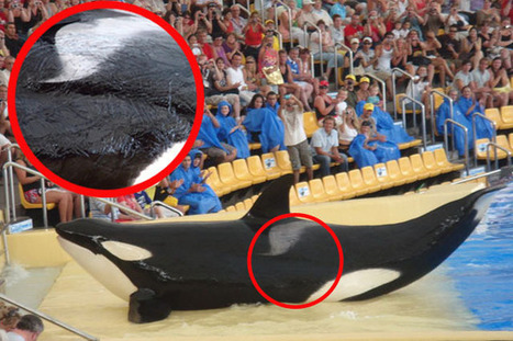 Forced Inbreeding and Bloody Battles—Killer Whales Live in Horror at Spanish Theme Park | All about water, the oceans, environmental issues | Scoop.it