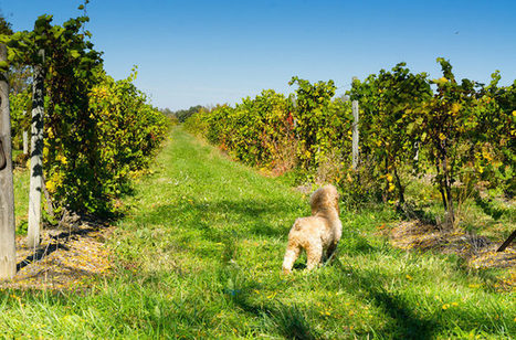 Dogs Sniff Out Vineyard Diseases... | Vitabella Wine Daily Gossip | Scoop.it
