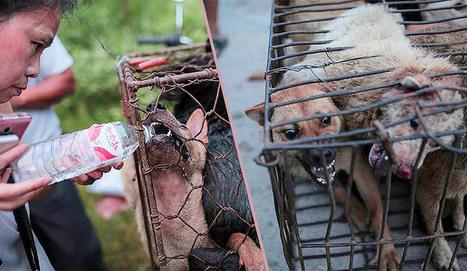 À Yulin, on s'apprête à massacrer 10 000 chiens #StopYulin2015 | Chronique d'un pays où il ne se passe rien... ou presque ! | Scoop.it