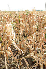 Nigeria: How Drought Tolerant Maize Variety Enhances Production | Maize | Scoop.it