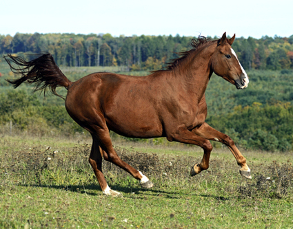 Horse Journal OnCall: Why Does My Horse Canter Disunited? | Horse Journal | Equine Bodywork | Scoop.it