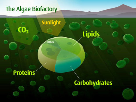 Algae biofuels: the wave of the future | Oumelkheir | Scoop.it