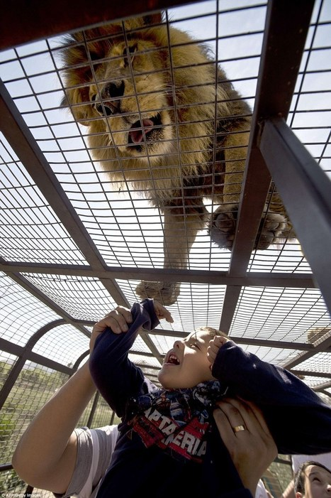 Visitors at Chilean safari park zoo can tickle the tummy of a lion from inside ... - Daily Mail   TOURISM CONTENT CURATOR   Scoop.it