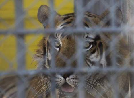 Tony the Tiger can stay at truck stop - The Advocate | Animals R Us | Scoop.it