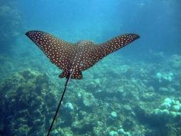 Belize Barrier Reef's Spotted Eagle Ray!!! | Belize in Social Media | Scoop.it
