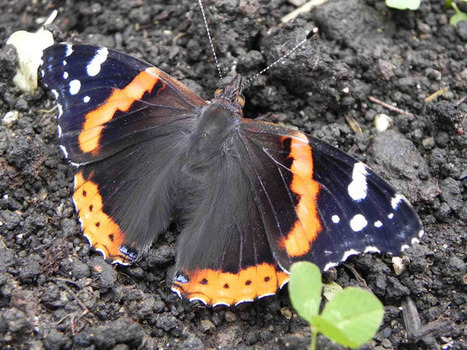 "TYWKIWDBI (""Tai-Wiki-Widbee""): A ""tidal wave"" of Red Admiral butterflies 