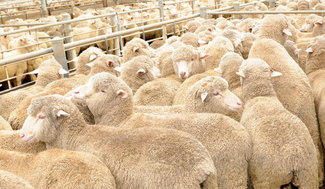 Merinos ace meat-eating tests - Weekly Times Now   Sheep and Wool   Scoop.it