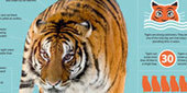Infographic: All About Tigers (Panthera tigris)   Nature   PBS   Infograph   Scoop.it