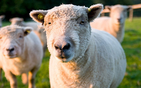Sheep munch through £4,000 of cannabis plants dumped in their field | Upsetment | Scoop.it