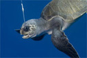 Longline fisheries in Costa Rica hook tens of thousands of sea turtles every year | Wildlife and Environmental Conservation | Scoop.it