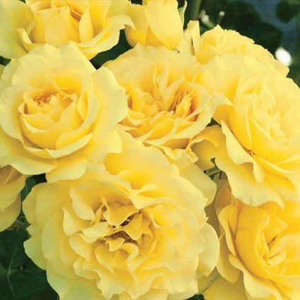 Sparkle & Shine™ Rose | Springhill Nursery | Scoop.it