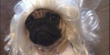 12 Pugs That Got Tricked, Not Treated On Halloween - Huffington Post (satire) | Pugs | Scoop.it