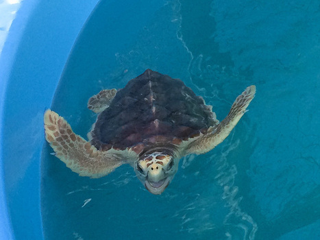 Turtles and Coral: Conservation in the Florida Keys | Travel | Scoop.it