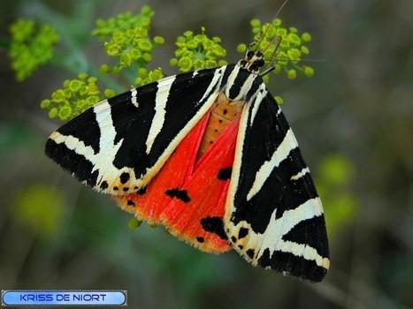 Photos de papillons : Ecaille chinée - Callimorphe - Euplagia quadripunctaria - Callimorpha quadripunctaria - Callimorpha hera - Jersey Tiger | Faaxaal Forum Photos gratuite Faune et Flore | Scoop.it