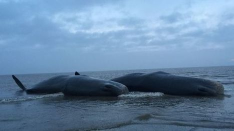 Sperm whales beached in Skegness following Hunstanton death - BBC News | Global Aquaculture News & Events | Scoop.it