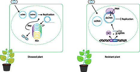 Genome Biology   Full text   Boosting plant immunity with CRISPR/Cas   Plant-Microbe Interaction   Scoop.it