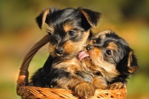 The Benefits of Puppy Love | Psychology and Brain News | Scoop.it