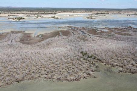 En Australie, la mangrove périt à cause de la sécheresse | Zones humides - Ramsar - Océans | Scoop.it