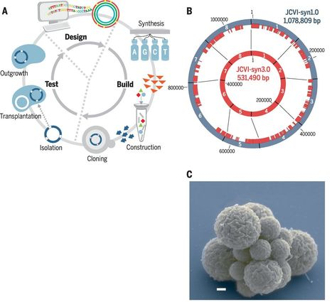 Design and synthesis of a minimal bacterial genome | Plant-Microbe Interaction | Scoop.it